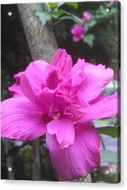 Wild Pink Rose Acrylic Print by Kim Martin