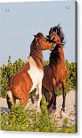 Wild Ponies At Play Acrylic Print