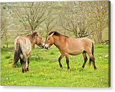 Wild Przewalski's Horses Acrylic Print