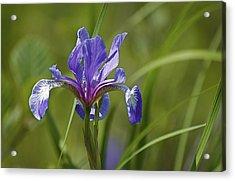 Wild Purple Iris 1 Acrylic Print by Greg Vizzi