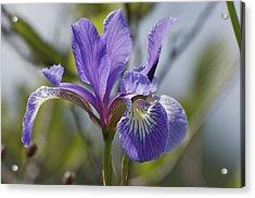 Wild Purple Iris Acrylic Print by Greg Vizzi