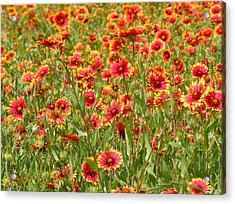 Acrylic Print featuring the photograph Wild Red Daisies #1 by Robert ONeil