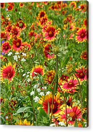 Acrylic Print featuring the photograph Wild Red Daisies #2 by Robert ONeil