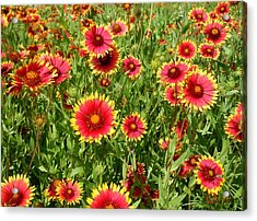 Acrylic Print featuring the photograph Wild Red Daisies #4 by Robert ONeil