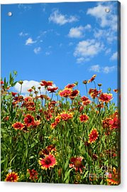 Acrylic Print featuring the photograph Wild Red Daisies #5 by Robert ONeil