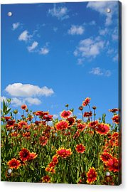 Acrylic Print featuring the photograph Wild Red Daisies #6 by Robert ONeil