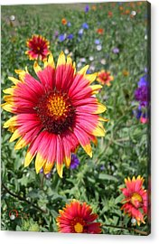 Acrylic Print featuring the photograph Wild Red Daisy #1 by Robert ONeil
