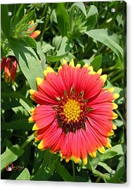Acrylic Print featuring the photograph Wild Red Daisy #2 by Robert ONeil