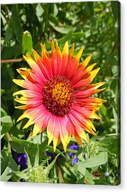 Acrylic Print featuring the photograph Wild Red Daisy #3 by Robert ONeil