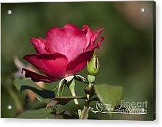 Wild Rose 20120615_205a Acrylic Print