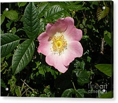 Wild Rose Acrylic Print by Ann Fellows