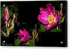 Wild Rose Acrylic Print