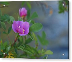Acrylic Print featuring the photograph Wild Rose by Jenessa Rahn
