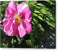 Acrylic Print featuring the photograph Wild Rose by Mary Bedy