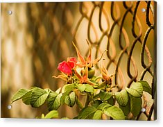 Wild Rose  Acrylic Print by Paulina Szajek