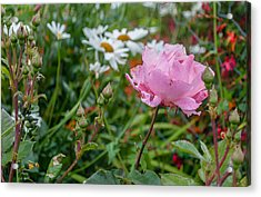 Acrylic Print featuring the photograph Wild Rose by Sergey Simanovsky