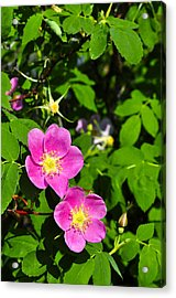Acrylic Print featuring the photograph Wild Roses by Cathy Mahnke