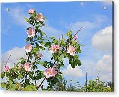 Wild Roses In June Acrylic Print