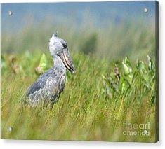 Wild Shoebill Balaeniceps Rex  Acrylic Print