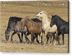 Wild Stallion Herd Pryor Mountain Acrylic Print by Yva Momatiuk and John Eastcott