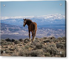 Wild Stallion Of Sand Wash Basin Acrylic Print