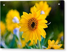 Wild Sunflower Acrylic Print by Chris Heitstuman