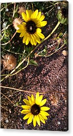 Acrylic Print featuring the photograph Wild Sunflowers by Fortunate Findings Shirley Dickerson