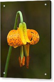 Wild Tiger Lily Acrylic Print