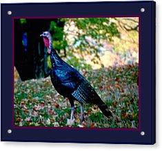 Wild Tom Turkey Acrylic Print by L Brown