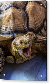 Wild Tortoise Acrylic Print