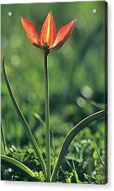 Wild Tulip (tulipa Doerfleri) Acrylic Print by Bob Gibbons/science Photo Library