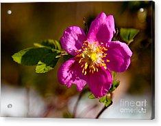 Wild Tundra Rose Acrylic Print