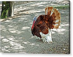Wild Turkey Acrylic Print by Aimee L Maher Photography and Art Visit ALMGallerydotcom