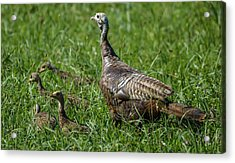 Wild Turkey And Poults Acrylic Print by Brian Stevens