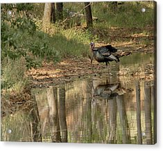 Wild Turkey Crossing Acrylic Print