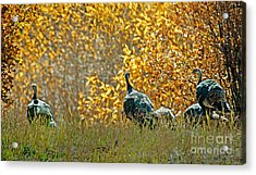 Wild Turkeys And Fall Colors Acrylic Print by Robert Bales