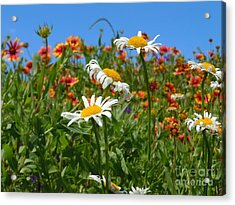 Acrylic Print featuring the photograph Wild White Daisies #1 by Robert ONeil