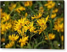 Acrylic Print featuring the photograph Wild Yellow Daisies by Susan D Moody