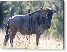 Wildebeast Acrylic Print by Craig Brown
