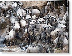 Wildebeests Crossing A River, Mara Acrylic Print