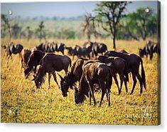 Wildebeests Herd. Gnu On African Savanna Acrylic Print by Michal Bednarek