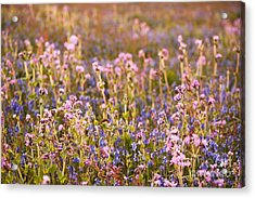 Wildflower Dusk Acrylic Print by Anne Gilbert