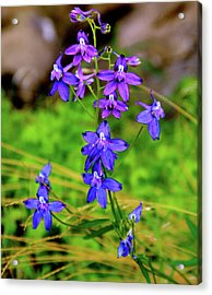 Wildflower Larkspur Acrylic Print