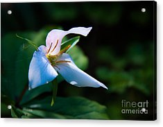 Wildflower Surprise Acrylic Print by Jennifer Apffel