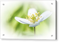 Wildflower Wood Anemone Acrylic Print by Dirk Ercken