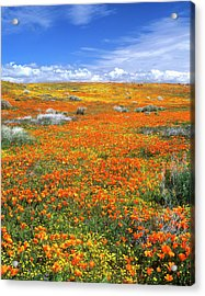 Wildflowers At The California Poppy Acrylic Print by John Alves