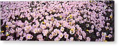 Wildflowers Galveston Tx Usa Acrylic Print by Panoramic Images