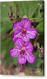 Wildflowers In Glacier National Park Acrylic Print by Natural Focal Point Photography