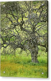Wildflowers Under Oak Tree - Spring In Central California Acrylic Print by Ram Vasudev