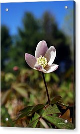 Wood Anemone Flower Acrylic Print by Christina Rollo